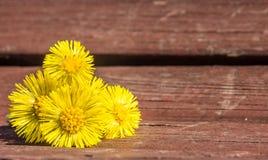 Coltsfoot kwiaty są na ławce w wiośnie Obraz Stock