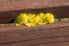 Coltsfoot kwiaty są na ławce w wiośnie Fotografia Stock
