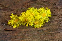 Coltsfoot. A macro photo of coltsfoot Stock Photos