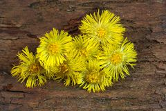 Coltsfoot. A macro photo of coltsfoot stock photography
