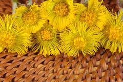 Coltsfoot. A macro photo of coltsfoot Royalty Free Stock Image