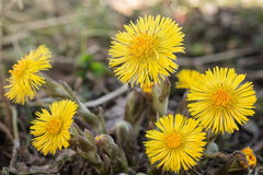 Coltsfoot Medical First Flower on Spring Stock Photo