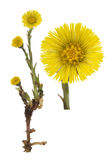 Coltsfoot medical- Tussilago farfara Royalty Free Stock Photos