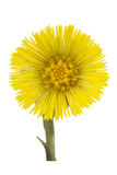 Coltsfoot medical- Tussilago farfara Stock Photo