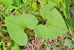 Coltsfoot medicinal 1 de la hierba imagen de archivo libre de regalías