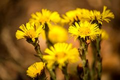 Coltsfoot, medicinal herb, flower in spring. In a German forest Stock Photography