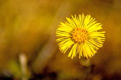 Coltsfoot, medicinal herb, flower in spring. In a German forest Stock Images