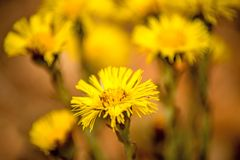 Coltsfoot, medicinal herb, flower in spring. In a German forest Royalty Free Stock Image