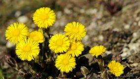 Coltsfoot, medicinal plant stock video