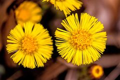 Coltsfoot, medicinal plant with flower in spring. In a forest in Germany Stock Photo