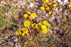 Coltsfoot, medicinal plant with flower in spring. In Germany Stock Images