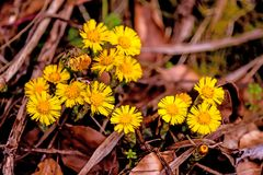 Coltsfoot, medicinal plant with flower in spring. Ina forest in Germany Royalty Free Stock Photo