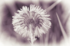 Coltsfoot - pink tint Stock Photo
