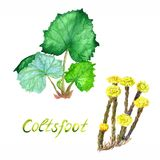 Coltsfoot plant set with green leaves and with yellow flowers, isolated on white background hand painted watercolor illustration. With inscription royalty free stock images