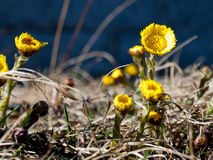 Coltsfoot tussilago farfara flowers. Close up of coltsfoot tussilago farfaara flowers growing in Finland in springtime Stock Photos