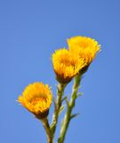 Coltsfoot (Tussilago farfara) Stock Photography
