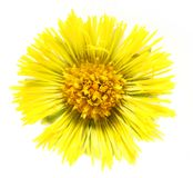 Coltsfoot (Tussilago farfara) Royalty Free Stock Images