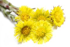 Coltsfoot (Tussilago farfara) Royalty Free Stock Image