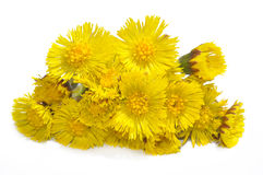 Coltsfoot (Tussilago farfara). Isolated on white background Royalty Free Stock Photography