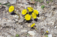 Coltsfoot, Tussilago farfara Stock Photos