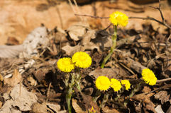 Coltsfoot Royalty Free Stock Photography