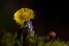 Coltsfoot, Tussilago farfara in close-up Royalty Free Stock Photo