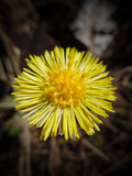 Coltsfoot (Tussilago farfara). Tussilago farfara, commonly known as coltsfoot, is a plant in the groundsel tribe in the daisy family Asteraceae, native to Europe Royalty Free Stock Photography