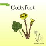 Coltsfoot tussilago farfara - lecznicza roślina ilustracja wektor