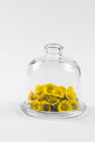 Coltsfoot or tussilago flowers in glass mini dome Stock Image