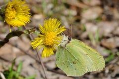 Coltsfoot und ein Schmetterling stockfoto
