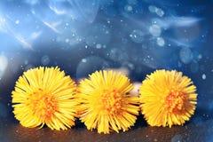 Coltsfoot, wiosna kwitnie świeżą rosę Zdjęcie Royalty Free