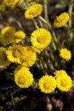 Coltsfoot. Yellow clump coltsfoot (Tussilago farfara) as background Stock Photo