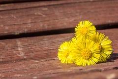 Coltsfootblumen sind auf der Bank im Frühjahr Lizenzfreie Stockbilder