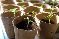 Coltura dei pomodori immagine stock