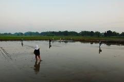 Coltura del riso in mattina Immagini Stock Libere da Diritti