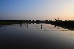 Coltura del riso in mattina Fotografia Stock