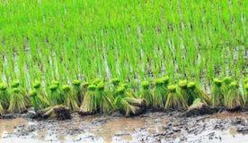 Coltura del riso Fotografia Stock