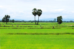 Coltura del riso Fotografie Stock Libere da Diritti