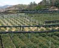 Coltura del tè verde Fotografia Stock