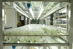 Coltura del tessuto vegetale Immagine Stock