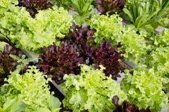 Coltura dell'insalata Fotografie Stock