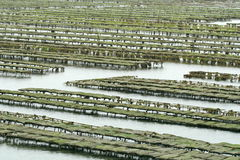 Coltura dell'ostrica Immagini Stock Libere da Diritti