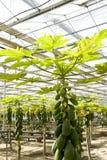 Coltura della papaia in serre. Immagine Stock