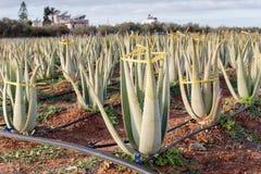 Coltura della pianta utile di Vera dell'aloe in un campo Fotografie Stock