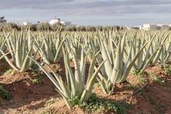 Coltura della pianta utile di Vera dell'aloe in un campo Fotografie Stock Libere da Diritti