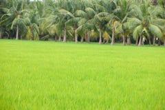 Coltura della risaia in India Fotografia Stock Libera da Diritti