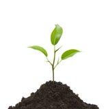 Coltura di una pianta giovane Fotografia Stock Libera da Diritti