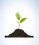 Coltura di una pianta giovane Fotografia Stock