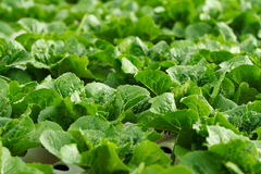 Coltura idroponica di verdure   Immagine Stock Libera da Diritti