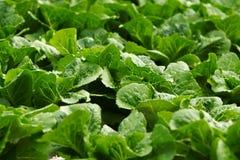 Coltura idroponica di verdure Immagini Stock Libere da Diritti